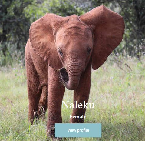 Elephant from Sheldrick wildlife trust